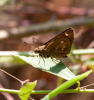 Twin-spotted Skipper - maybe