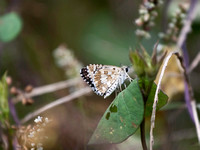 Common Checkered Skipper - ventral view